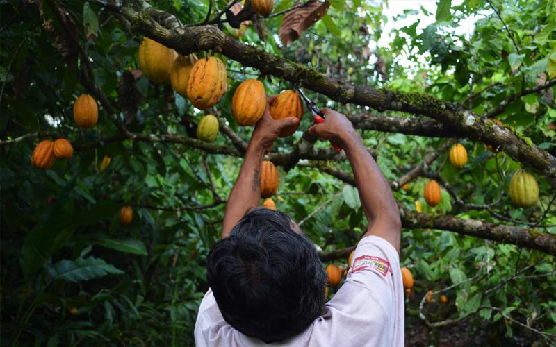 Cacao Amazonico
